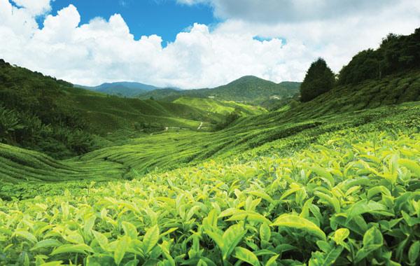 tea-plantation-sri-lanka
