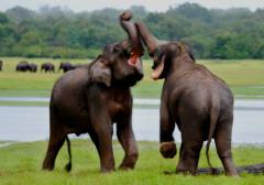 elephants-of-sri-lanka