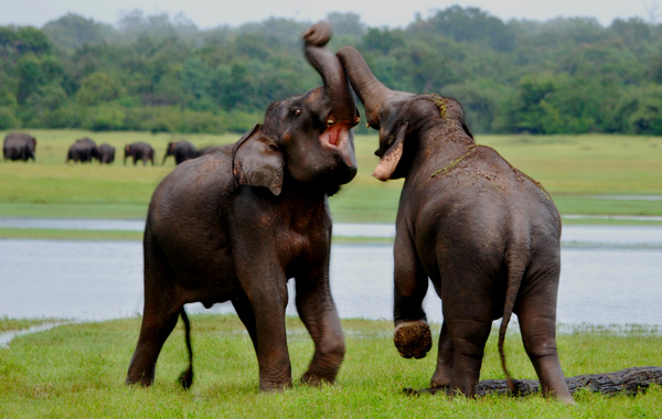 elephants-of-sri-lanka